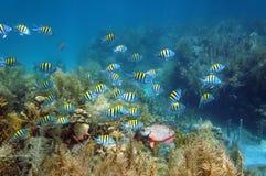 Tłum ryba w rafy koralowa dnie morskim obraz royalty free