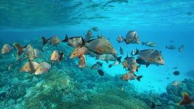 Tłum rybiego humpback czerwonego snapperu Pacyficzny ocean zdjęcia royalty free