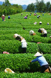 Tłumu Wietnamski średniorolny herbaciany zbieracz na plantaci Zdjęcie Royalty Free