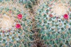 Tłustoszowaci roślina kwiaty Zdjęcie Stock