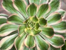 Tłustoszowata agawy roślina Fotografia Royalty Free