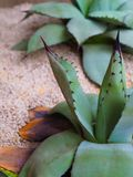 Tłustoszowata agawy roślina w miękkiego piaska salowym plantatorze, Obrazy Royalty Free