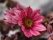 Tłustoszowata kwiat karmazynka, kurczątka i obraz stock