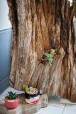 Tłustoszowata roślina Obraz Royalty Free