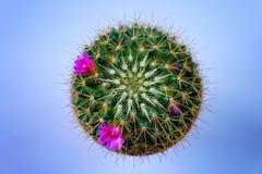 Tłustoszowata roślina Fotografia Royalty Free