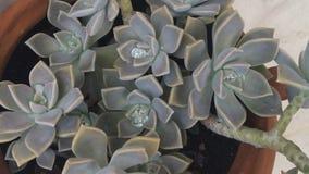 Tłustoszowata roślina Fotografia Stock