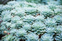 Tłustoszowata roślina Zdjęcia Royalty Free