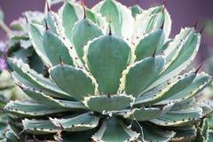 Tłustoszowata roślina Obrazy Stock