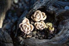 Tłustoszowata roślina Zdjęcia Stock