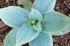 Tłustoszowata roślina od above Zdjęcie Royalty Free