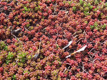 Tłustoszowata roślina Sedum Rubrotinctum Fotografia Royalty Free