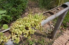 Tłustoszowata roślina w bambusowym kwiatu garnku Fotografia Stock