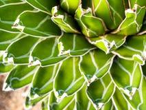 Tłustoszowata roślina w górę, świeży liścia szczegół agaw victoriae reginae obrazy royalty free