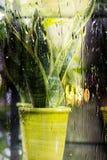 Tłustoszowata roślina w garnku Zdjęcia Royalty Free