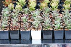 Tłustoszowata roślina w garnku obrazy royalty free