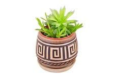 Tłustoszowata roślina w garnku Obrazy Stock