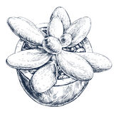 Tłustoszowata roślina w garnku Obraz Royalty Free