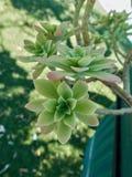 Tłustoszowata roślina w kwiacie Fotografia Royalty Free