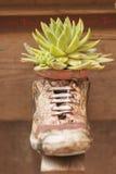 Tłustoszowata roślina w wazie Zdjęcia Royalty Free