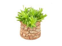 Tłustoszowata rośliny agawa Obraz Stock