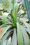 Tłustoszowata rośliny agawa Zdjęcie Royalty Free
