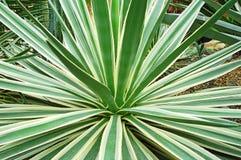 Tłustoszowata rośliny agawa Obraz Royalty Free