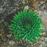 Tłustoszowata zielona roślina w kwiacie obrazy stock