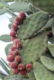 Tłustoszowata zielona roślina z czerwonymi owoc obraz royalty free