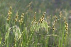 Tłustoszowate łąkowe trawy w słońcu fotografia royalty free