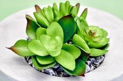 Tłustoszowate Dekoracyjne rośliny Obrazy Royalty Free