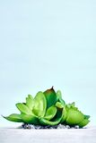 Tłustoszowate Dekoracyjne rośliny Zdjęcia Stock