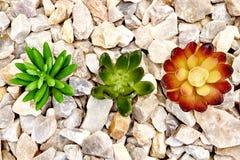 Tłustoszowate Dekoracyjne rośliny Zdjęcie Royalty Free