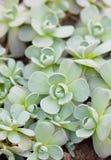 Tłustoszowate rośliny. Zdjęcia Royalty Free