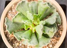 Tłustoszowate rośliny Zdjęcia Royalty Free