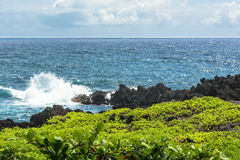 Tłustoszowate rośliny wzdłuż Maui wybrzeża, Hawaje Fotografia Stock
