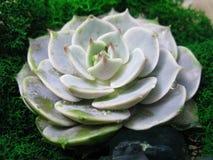 Tłustoszowatej echeveria kwiatu kamienia mech kaktusowej różanej rośliny makro- fotografia Fotografia Stock