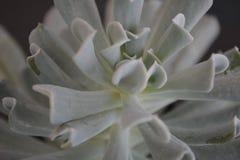 Tłustoszowatej rośliny unikalny typ zdjęcie royalty free