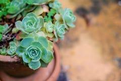 Tłustoszowaty kaktus w zbliżeniu, z pięknym wzorem Fotografia Stock
