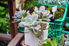 Tłustoszowaty roślina garnek Zdjęcia Stock