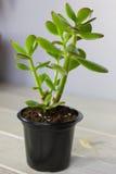 Tłustoszowaty roślina grubosza ovata znać jako chabet roślina lub pieniądze roślina w czarnym garnku Zdjęcia Royalty Free