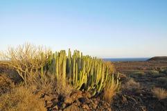 Tłustoszowaty roślina kaktus na Suchym Zdjęcie Stock