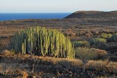 Tłustoszowaty roślina kaktus na Suchym Fotografia Stock