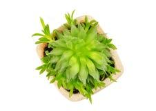 Tłustoszowaty rośliny Haworthia cooperi Fotografia Royalty Free