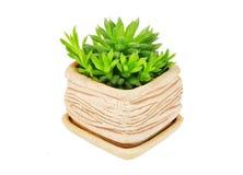 Tłustoszowaty rośliny Haworthia cooperi Zdjęcia Stock