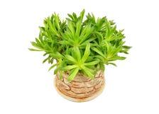 Tłustoszowaty rośliny Haworthia cooperi Obrazy Royalty Free