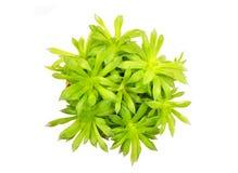 Tłustoszowaty rośliny Haworthia cooperi Obraz Stock