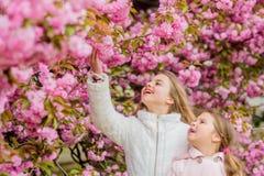t Облака цветков мягкие розовые Дети наслаждаются теплой весной Девушки представляя около Сакуры Потерянный в цветении Дети дальш стоковые изображения