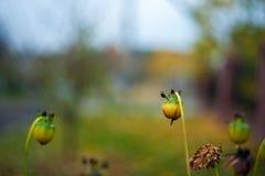 t 黄色在庭院幻灯片行动上升了 未打开的芽 库存照片