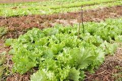 tät ny grön organisk övre grönsak Royaltyfri Fotografi