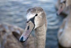 tät swan upp barn arkivfoto